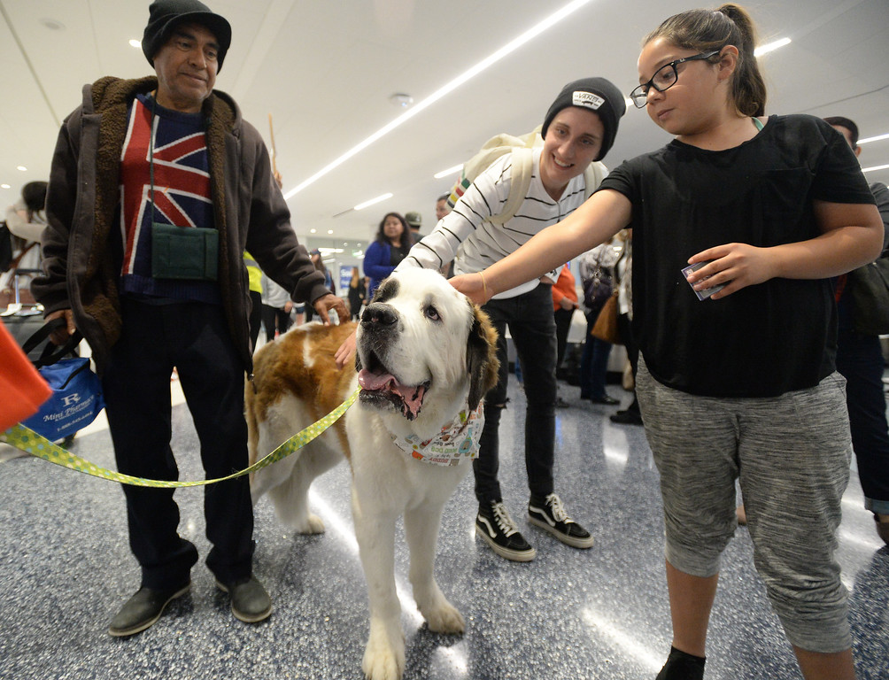 . Pets Unstressing Passengers travelled through terminals at LAX to help relieve travelers\' stress Sunday, May 14, 2017, Los Angeles. Beowoof, a St. Bernard owned by Samantha Lynn, was a crowd hit as people were drawn to the big dog. (Photo by Steve McCrank, Daily Breeze/SCNG)