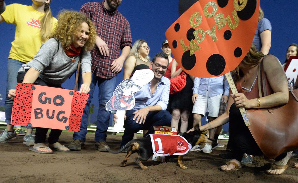 . Lady Bug, from Redondo Beach, has an entourage in the 22nd Wienerschnitzel Wiener Nationals at Los Alamitos Race Course Saturday, July 22, 2017, Los Alamitos, CA. Lady Bug was abandoned due to a physical challenge that left her unable to walk. However, her owner Deanna O\'Neil rehabilitated her and now she is even able to race. (Photo by Steve McCrank, Daily Breeze/SCNG)