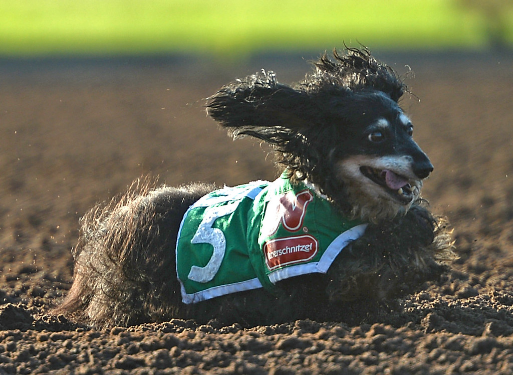 . Dora tears up the dirt in the 22nd Wienerschnitzel Wiener Nationals at Los Alamitos Race Course Saturday, July 22, 2017, Los Alamitos, CA. Dora holds the record for the most national appearance. (Photo by Steve McCrank, Daily Breeze/SCNG)