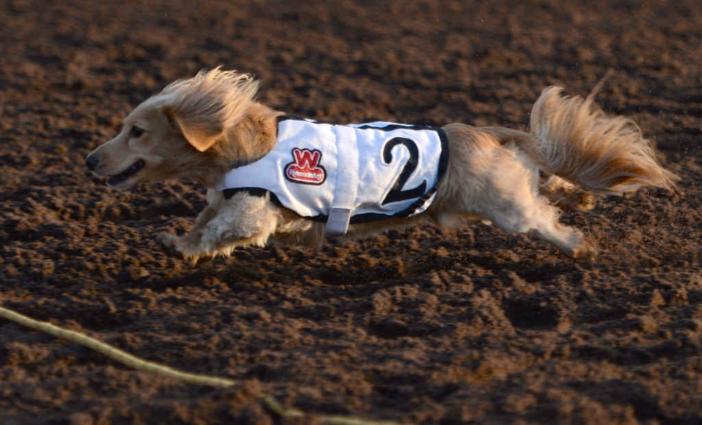 . Archibald the Great won his heat in the 22nd Wienerschnitzel Wiener Nationals at Los Alamitos Race Course Saturday, July 22, 2017, Los Alamitos, CA.  (Photo by Steve McCrank, Daily Breeze/SCNG)