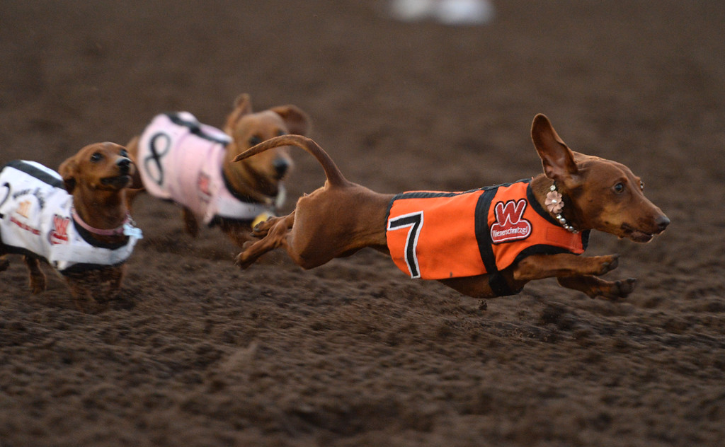 . Darcy shows why she is the defending champion as she bursts forward for the finish line in the 22nd Wienerschnitzel Wiener Nationals at Los Alamitos Race Course Saturday, July 22, 2017, Los Alamitos, CA.  (Photo by Steve McCrank, Daily Breeze/SCNG)