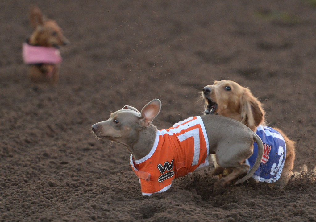. Finn (3) and Levi (7) go after each other on the race course in the 22nd Wienerschnitzel Wiener Nationals at Los Alamitos Race Course Saturday, July 22, 2017, Los Alamitos, CA.  (Photo by Steve McCrank, Daily Breeze/SCNG)