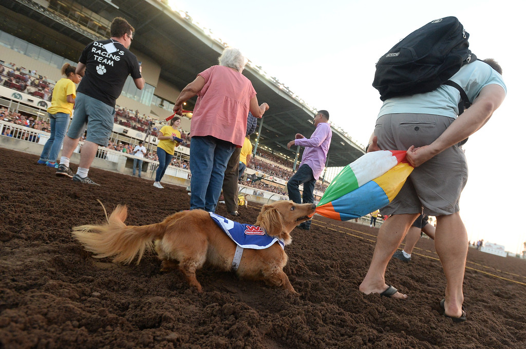 . The 2015 champion Finn is guided to the finish line with the promise of a tug of war with a beach ball in the 22nd Wienerschnitzel Wiener Nationals at Los Alamitos Race Course Saturday, July 22, 2017, Los Alamitos, CA.  (Photo by Steve McCrank, Daily Breeze/SCNG)
