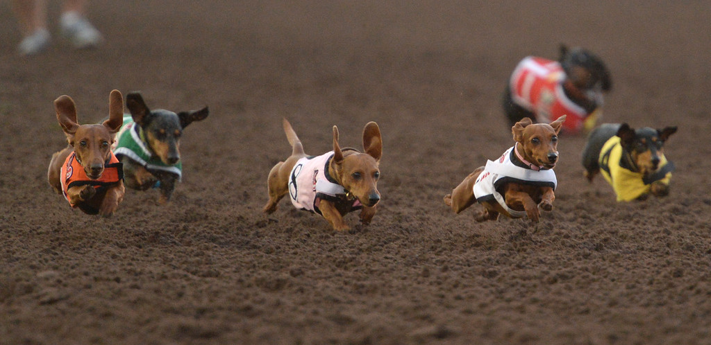 . Darcy, the defending champion, closes from the outside for a heat win in the 22nd Wienerschnitzel Wiener Nationals at Los Alamitos Race Course Saturday, July 22, 2017, Los Alamitos, CA.  (Photo by Steve McCrank, Daily Breeze/SCNG)