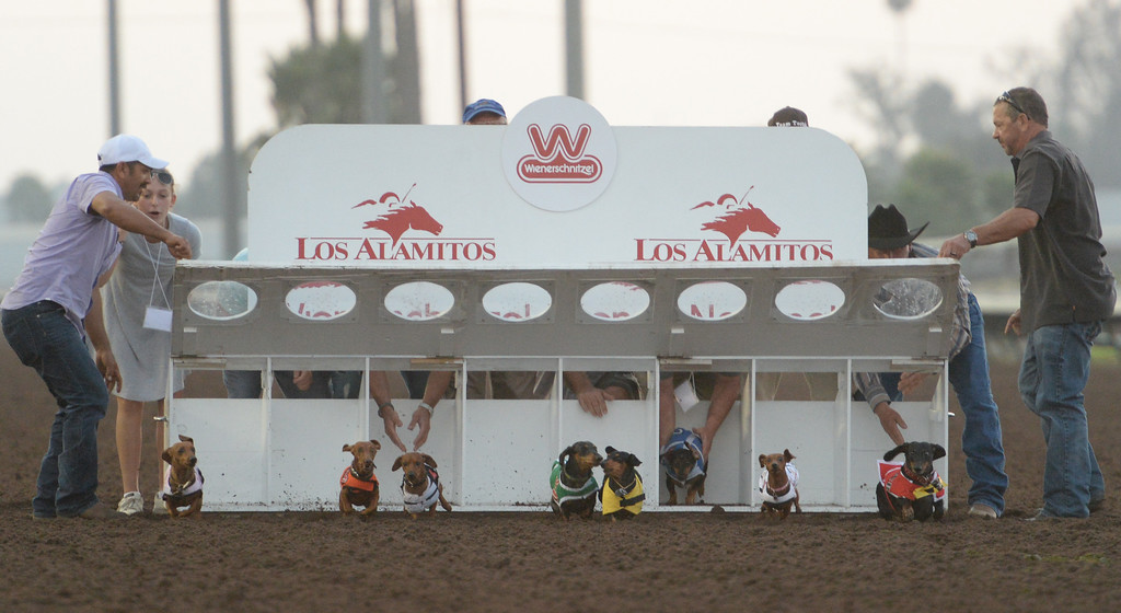 . And they\'re off, in the 22nd Wienerschnitzel Wiener Nationals at Los Alamitos Race Course Saturday, July 22, 2017, Los Alamitos, CA.  (Photo by Steve McCrank, Daily Breeze/SCNG)