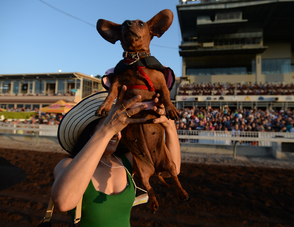. Monica Robledo, of Fullerton, brings Ginger to the start line in the 22nd Wienerschnitzel Wiener Nationals at Los Alamitos Race Course Saturday, July 22, 2017, Los Alamitos, CA.  (Photo by Steve McCrank, Daily Breeze/SCNG)