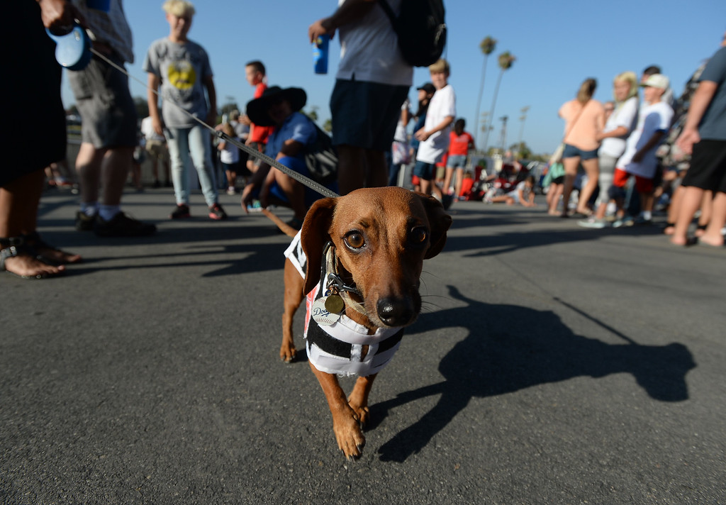 . Slinky walks the start area before the 22nd Wienerschnitzel Wiener Nationals at Los Alamitos Race Course Saturday, July 22, 2017, Los Alamitos, CA.  (Photo by Steve McCrank, Daily Breeze/SCNG)