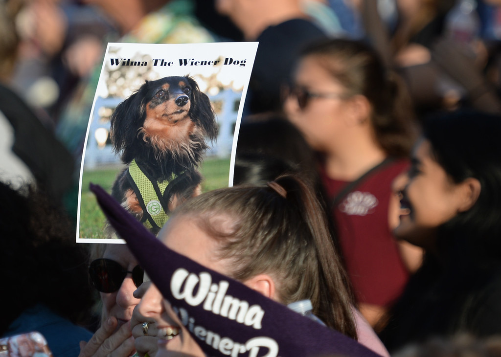 . Fans in the stands cheer for Wilma in the 22nd Wienerschnitzel Wiener Nationals at Los Alamitos Race Course Saturday, July 22, 2017, Los Alamitos, CA.  (Photo by Steve McCrank, Daily Breeze/SCNG)