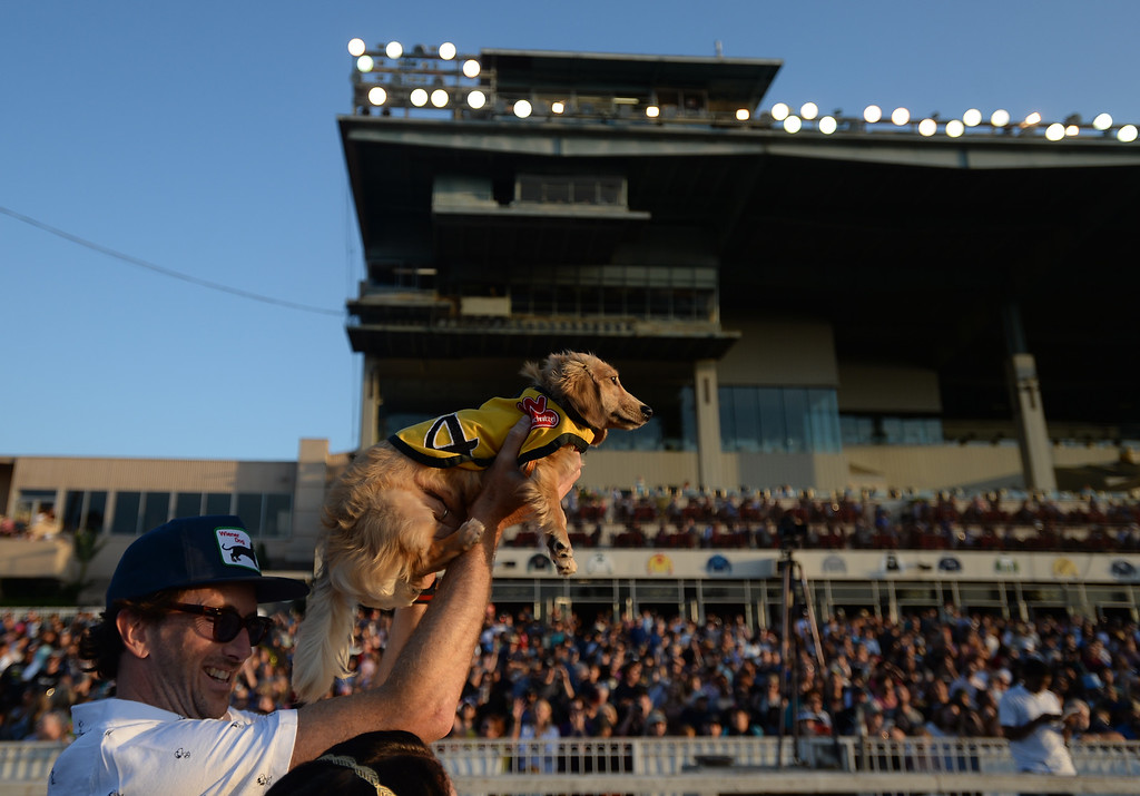 . Puddy from Newport Beach, is brought to the start line of the second trial race in the 22nd Wienerschnitzel Wiener Nationals at Los Alamitos Race Course Saturday, July 22, 2017, Los Alamitos, CA.  (Photo by Steve McCrank, Daily Breeze/SCNG)