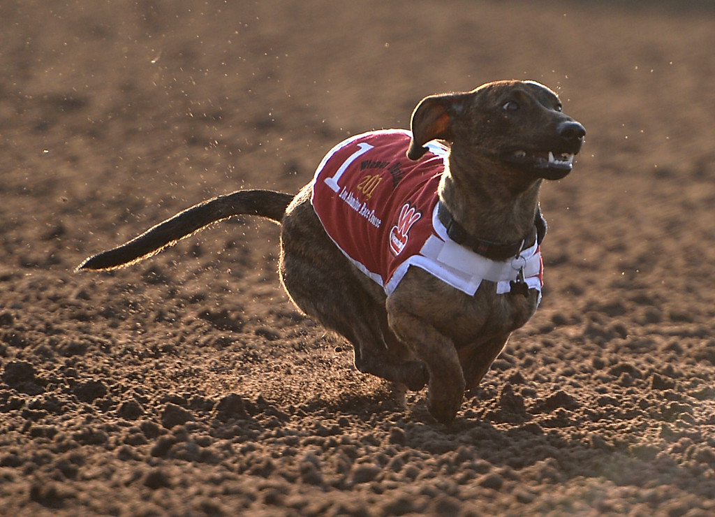 . Finn heads for the win in the Jim Welsch Memorial race of the 22nd Wienerschnitzel Wiener Nationals at Los Alamitos Race Course Saturday, July 22, 2017, Los Alamitos, CA.  (Photo by Steve McCrank, Daily Breeze/SCNG)