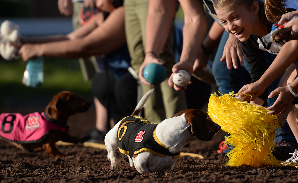. Wiener dogs are coaxed across the finish line by their owners in the 22nd Wienerschnitzel Wiener Nationals at Los Alamitos Race Course Saturday, July 22, 2017, Los Alamitos, CA.  (Photo by Steve McCrank, Daily Breeze/SCNG)