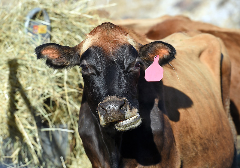Lilly, one of Maureen McDonough's cows who she says is their farm mascot, chews with a crooked smile Tuesday, Jan. 17, 2017, at the farm where she lives west of Berthoud.  (Photo by Jenny Sparks/Loveland Reporter-Herald)