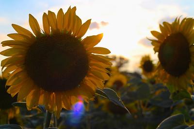 McKee Besher Sunflower Fields