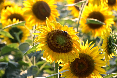 McKee Besher Sunflower Fields