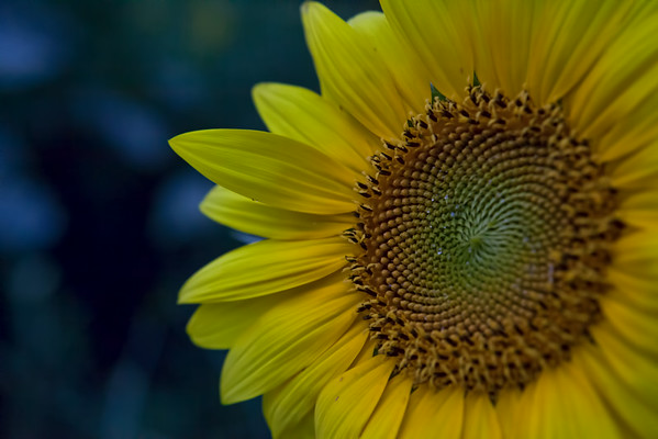 McKee Besher's Sunflowers