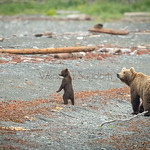LITTLE WILD GRIZZLY CUB STANDING UP ON THE BEACH.