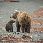 LITTLE FIRST YEAR WILD GRIZZLY GROWLING AT ITS MOMMY.