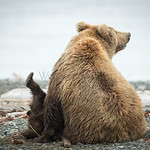 LITTLE GRIZZLY CUB AT MCNEIL RIVER WITH MOTHER SOW NURSING FEET UP.