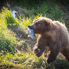 Alaskan Grizzly Racing Up The Hill To Eat Her Fish.