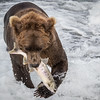 The Big Catch, McNeil River Bear.
