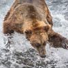 Going in For the Catch! McNeil River Bear.