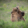 Two McNeil Grizzly's Having A Little Afternoon Dance..