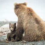 LITTLE GRIZZLY CUB AT MCNEIL RIVER WITH MOTHER SOW.