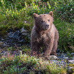 Tiny sweet first year cub at McNeil River.
