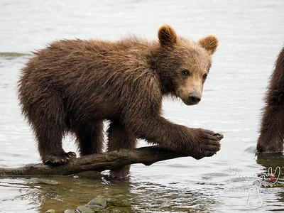 McNeil River, Brown Bear, Bears, Bear, Katmai, Alaska, Grizzly Bear, Grizzly
