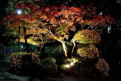 Night Lit Maples