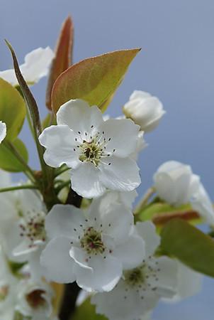 Nashi Blossoms