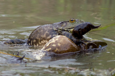 Bullfrog Fight