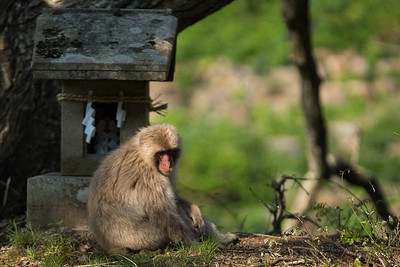 Snow Monkeys in the Spring