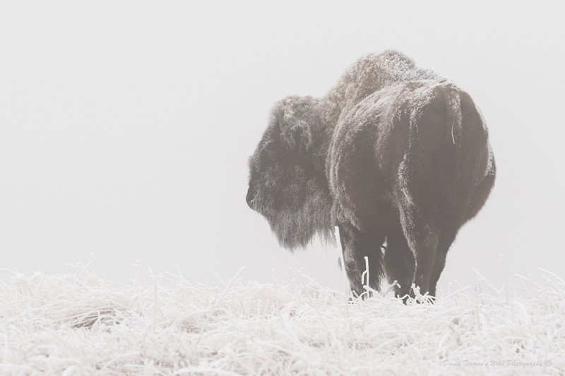 Bison in Fog