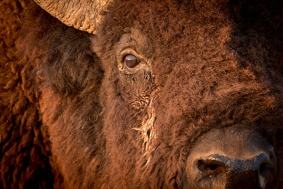 In the Bison's Eye