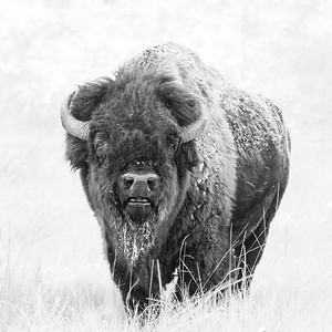 Bull Bison Bellow