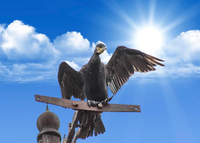Cormorant shielding the sun