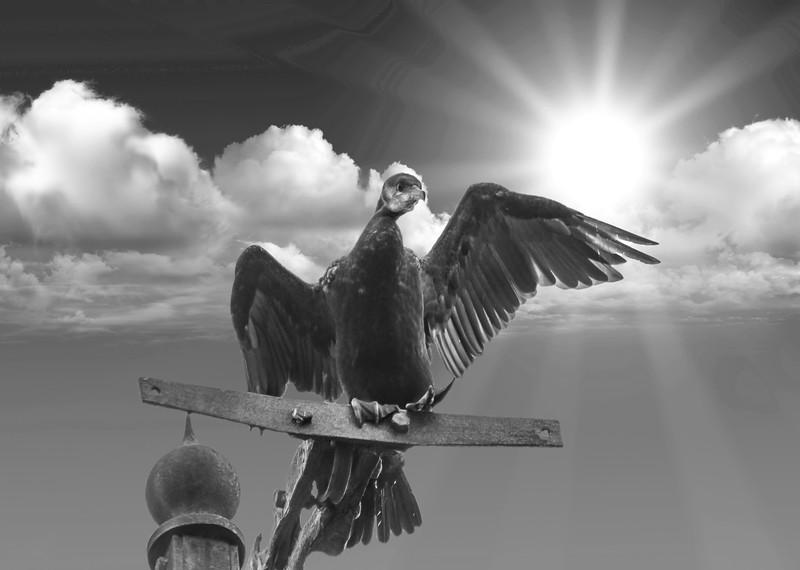 Cormorant shielding the sunB&W