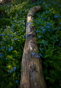 Blue bell flowers Spring blossom.
