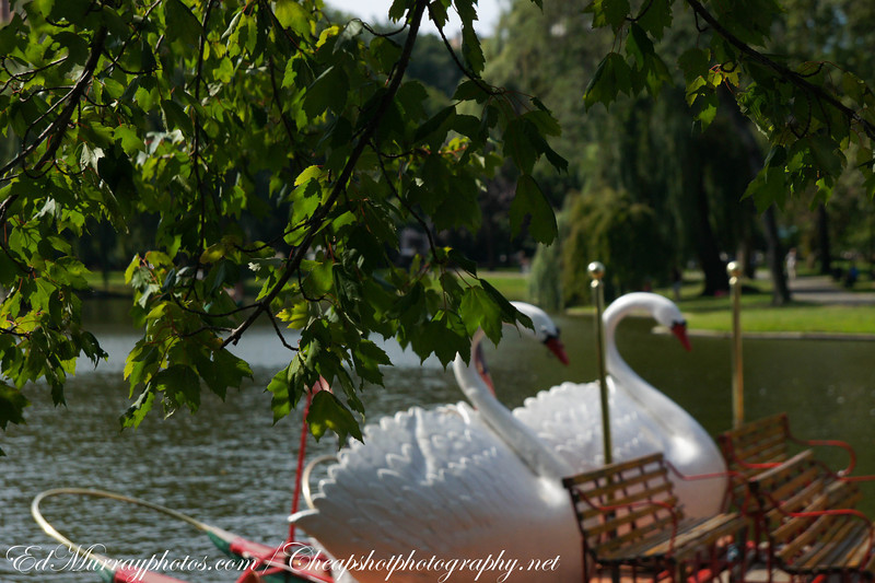 Swan boats: It's cold today...I need a picture from the summer