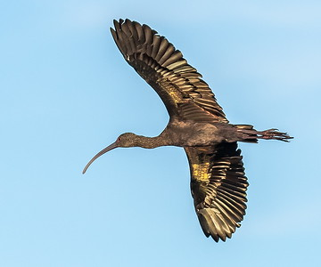 """This White-faced Ibis flew near by (why someone named this bird """"white faced"""" is beyond me)"""