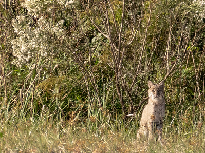 To add insult to injury, Jeff, Loyd and I then ventured to ANWR. As soon as we turned in we saw two bobcats staring at us from appx 200yds. This was the best I could do---NOT GOOD