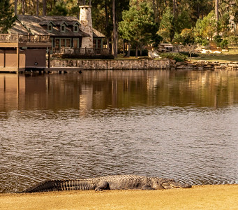 This monster was sunning in front of the 18th tee...I decided to get a little closer...