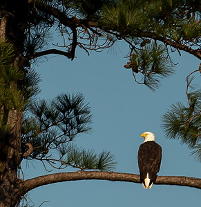 There is no mistaking a Bald Eagle--even at 200+yards away!!