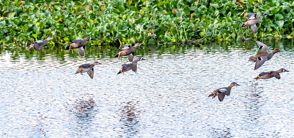 Although there were 1000's of Teal @ Cattail, for the life of me I couldn't get any sharp images