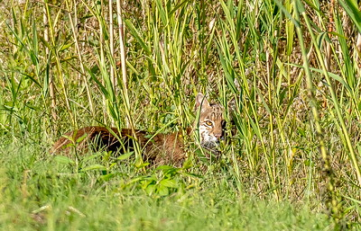 """Turning onto the Shoveler's loop, I spotted this guy """"hiding"""" in the grass. I was determined to wait him out and redeem myself from the day before..."""