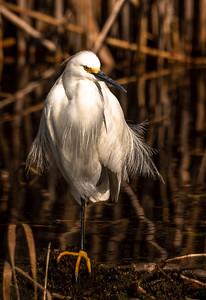 Around Shoveler's Pond we went and captured this Snowy Egret