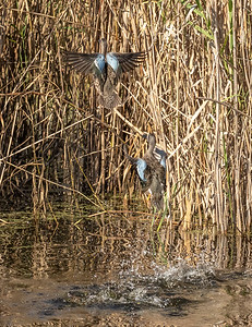 ...and the two Blue-winged Teal took off
