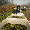 Olive Harvest, November 2016