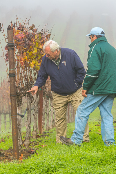 Director of Winemaking Brooks Painter examines the vines, November 2016